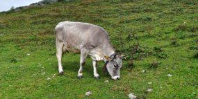 la piana formaggio un lungo percorso capre